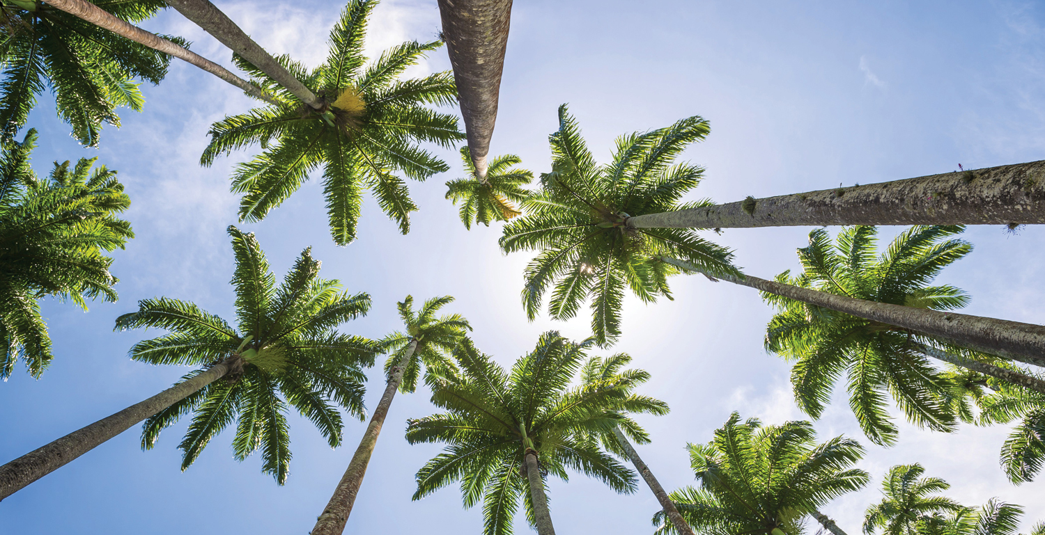 Our Mighty Palm Trees Naples Florida Weekly