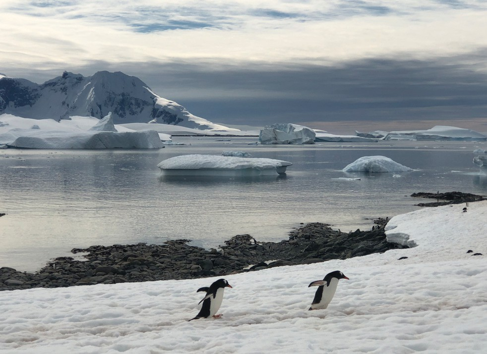 Gentoo penguins are the third largest penguin species alive and have a large geographical range. The largest populations of gentoo penguins are found at the Antarctic Peninsula as well as the Falkland Islands and South Georgia Island.
