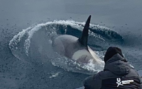 Above, Orca whales swim under the ship to the delight of expedition participants. Also known as killer whales, they are the top predators in Antarctica's rapidly warming environment.